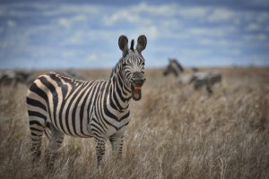 zebre-savane-tanzanie